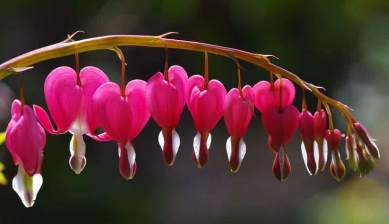 bleeding gums symbolised by image of bleeding heart flowers, ppink against a green background