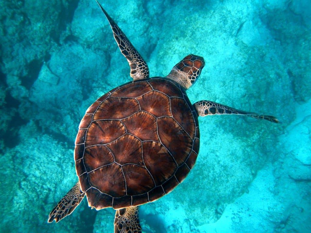 turtle teeth replaced by beak in modern turtle seen swimming in Turkey
