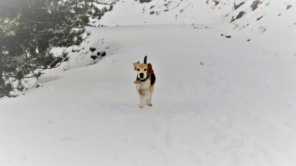 health benefits of walking your dog shows a beagle in the snow