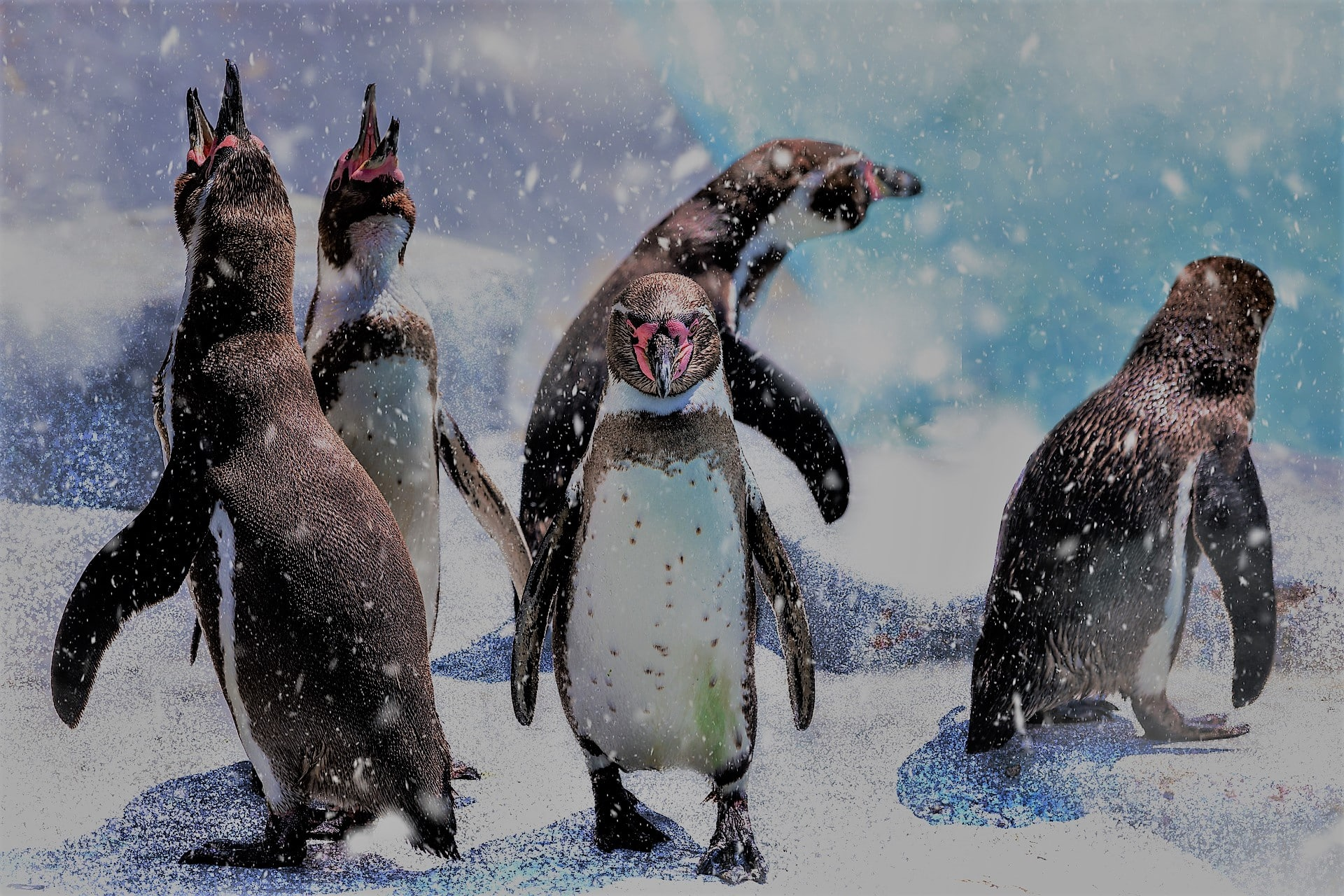 Five penguins on ice. Two penguins mouths open as they catch snow.