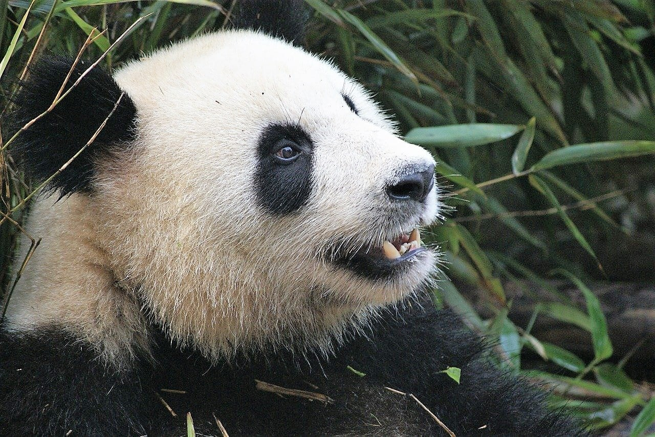 close up of black and white bear's head shows giant pandas teeth with bamboo behind